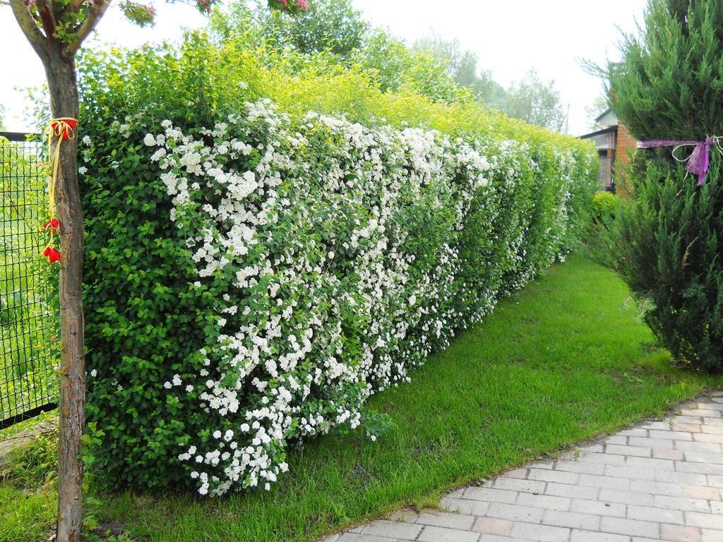 Живая изгородь из цветов на даче своими руками какие растения