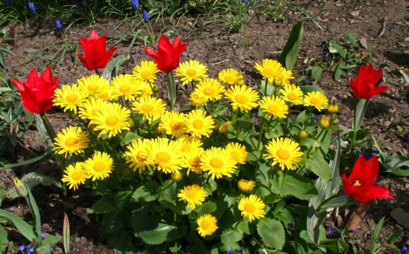 doronicum-and-dwarf-red-tulips