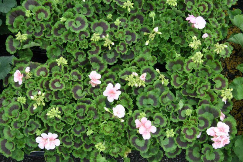 geraniumsalmon