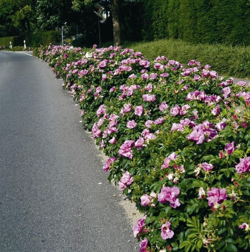 hedge-of-roses