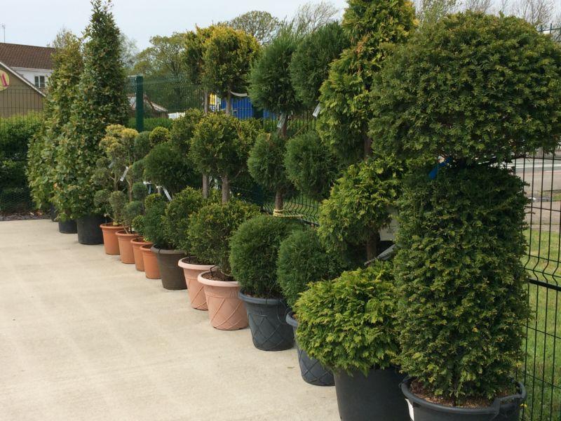 ornamental-trees