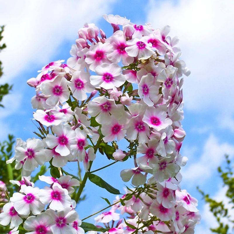 phloxpaniculata1
