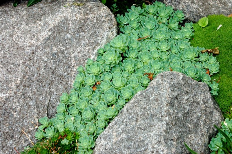 sedum-pachyclados-in-crevice