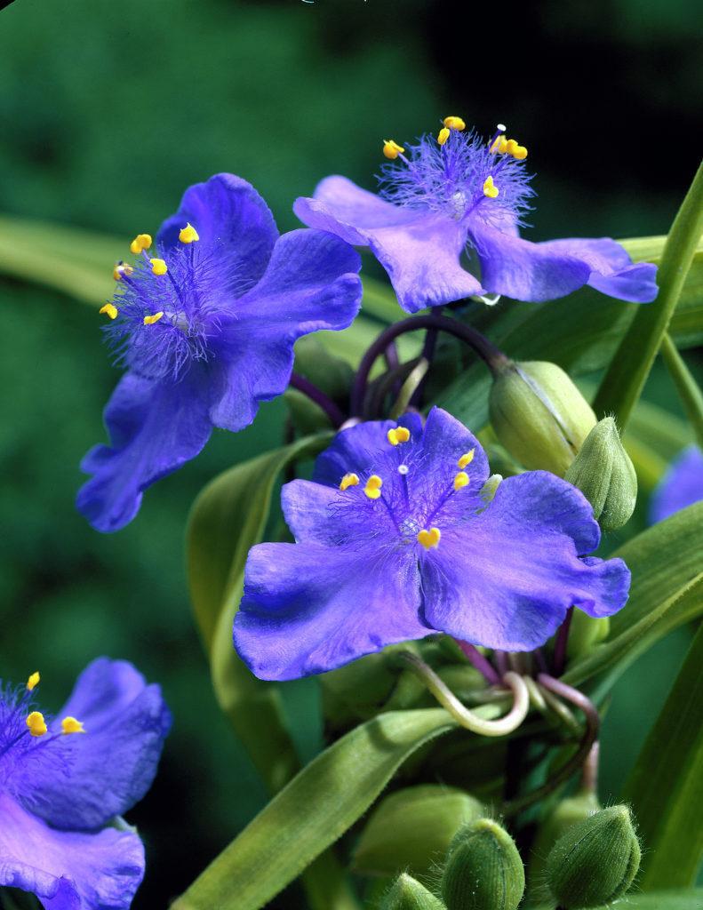 Zwanenburg Blue