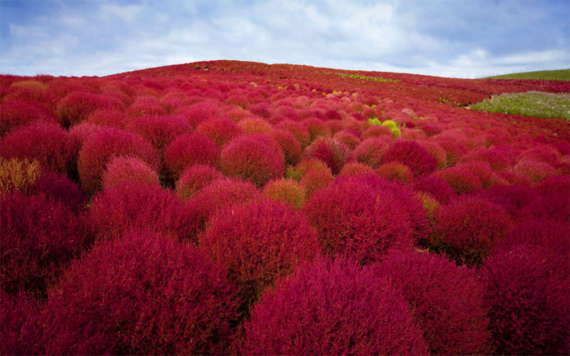 burning-bush-plants-park-japan