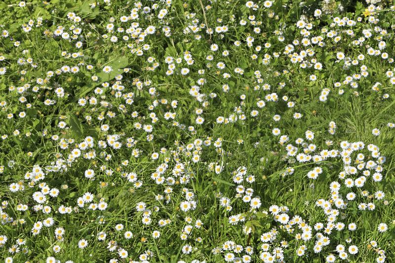 chamomile-lawn