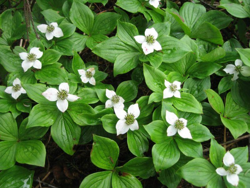 cornus-canadensis-bunchberry-ground-cover-low-growing-shrub-nativespecies-acidic-soil-flowers-berries-whistler-pemberton-landscaping