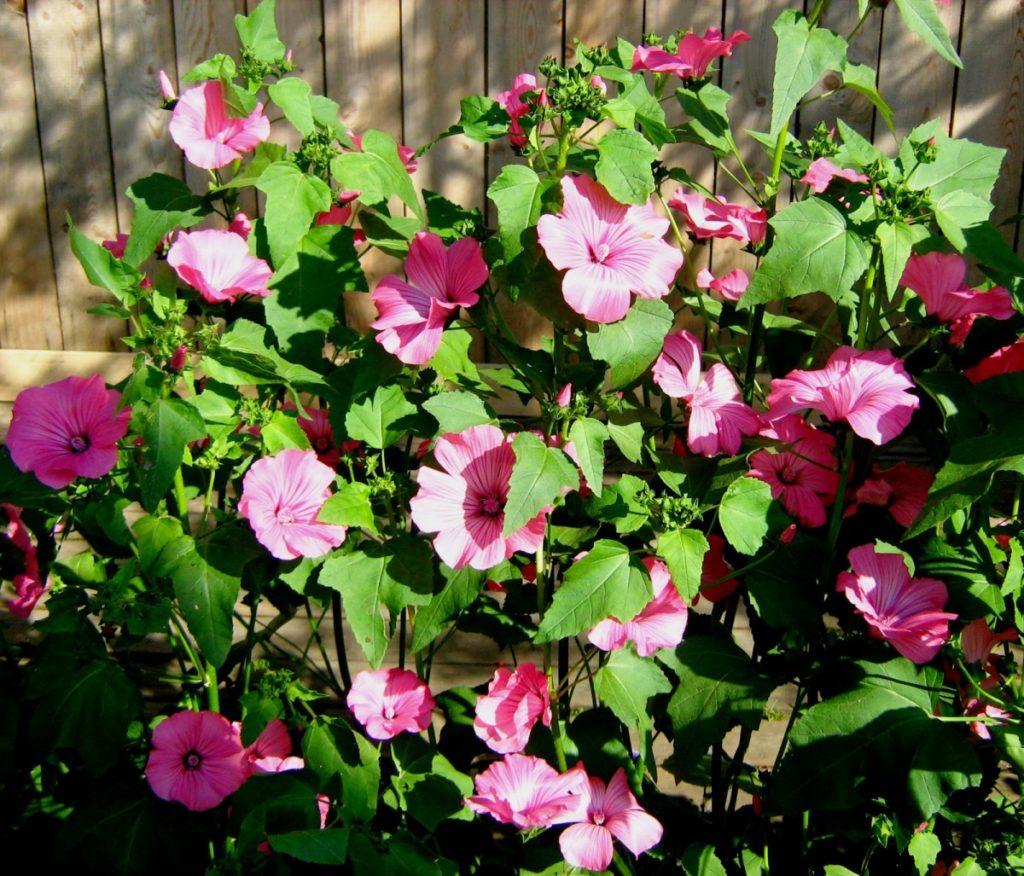 Цветы лаватера в саду