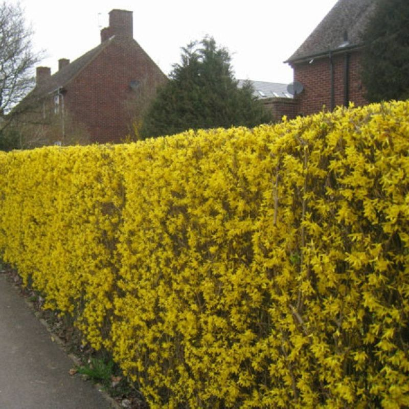 forsythia-hedge-p70-2371_image