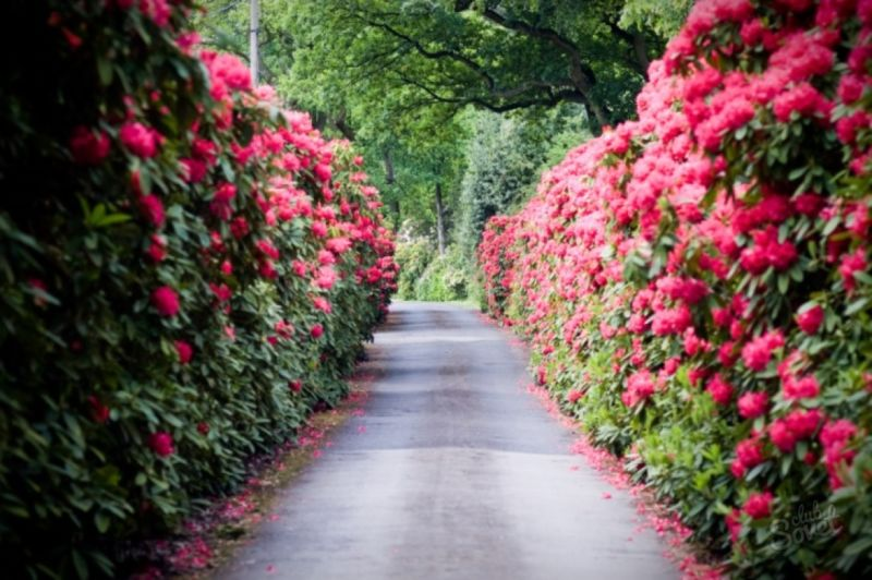 A road lined with Rhododendron