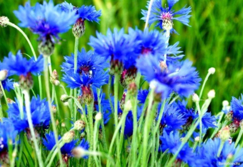nizkoroslye-cvety-dlya-klumby-cvetushhie-vse-leto-nazvaniya-i-opisaniya2