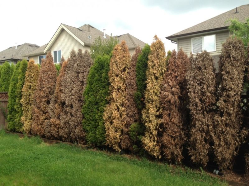 thuja-hedge-4