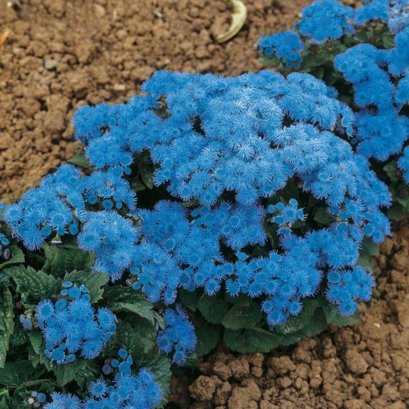 vyr_457ageratum-blue-danube18