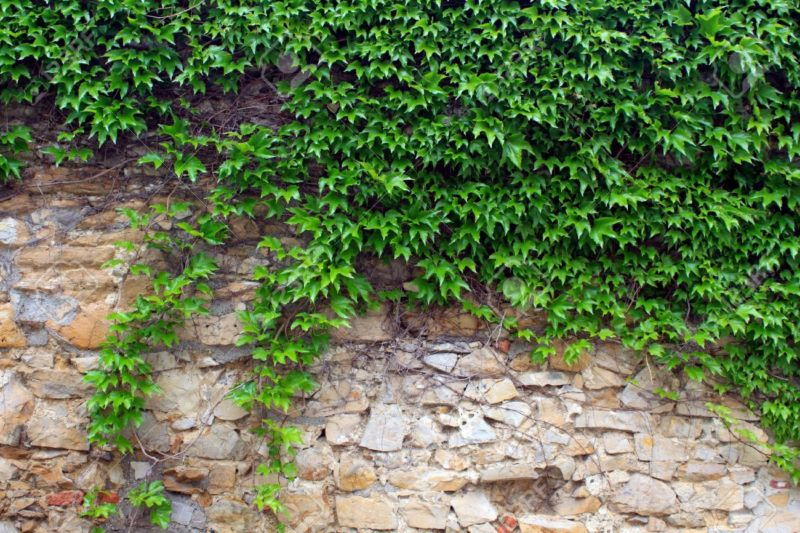 12710249-the-green-ivy-on-a-stone-wall-a-beautiful-background-stock-photo