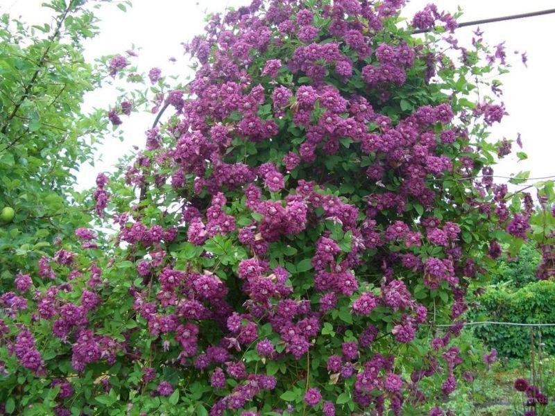 Быстрорастущие вьющиеся растения для дачи многолетние