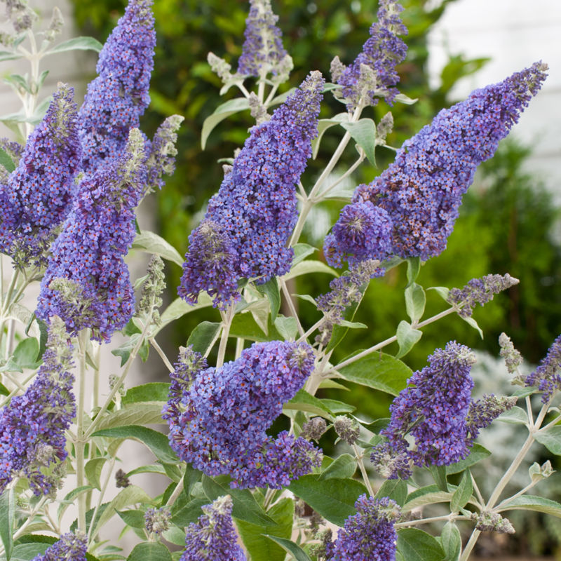 buddleja-davidii-buzz-sky-blue