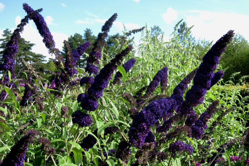 buddleja_davidii_black_knight_2