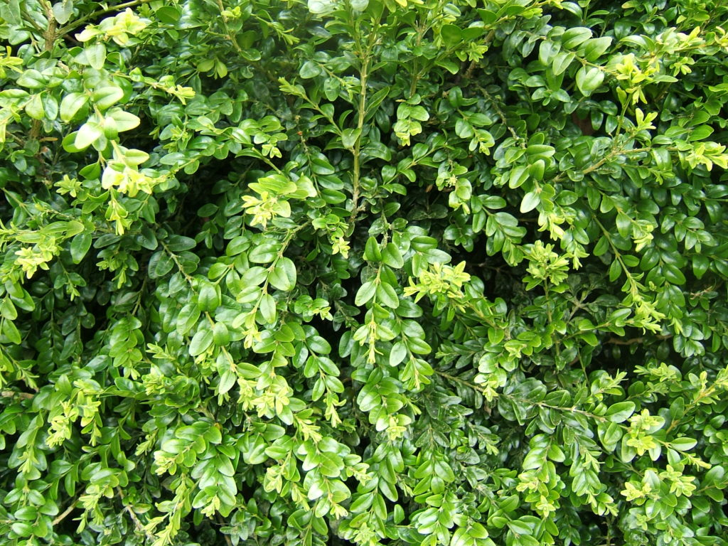 buxus_sempervirens_foliage_1