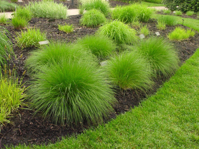 ci-american-beauties-native-plants_prairie-dropseed-ornamental-grass_h