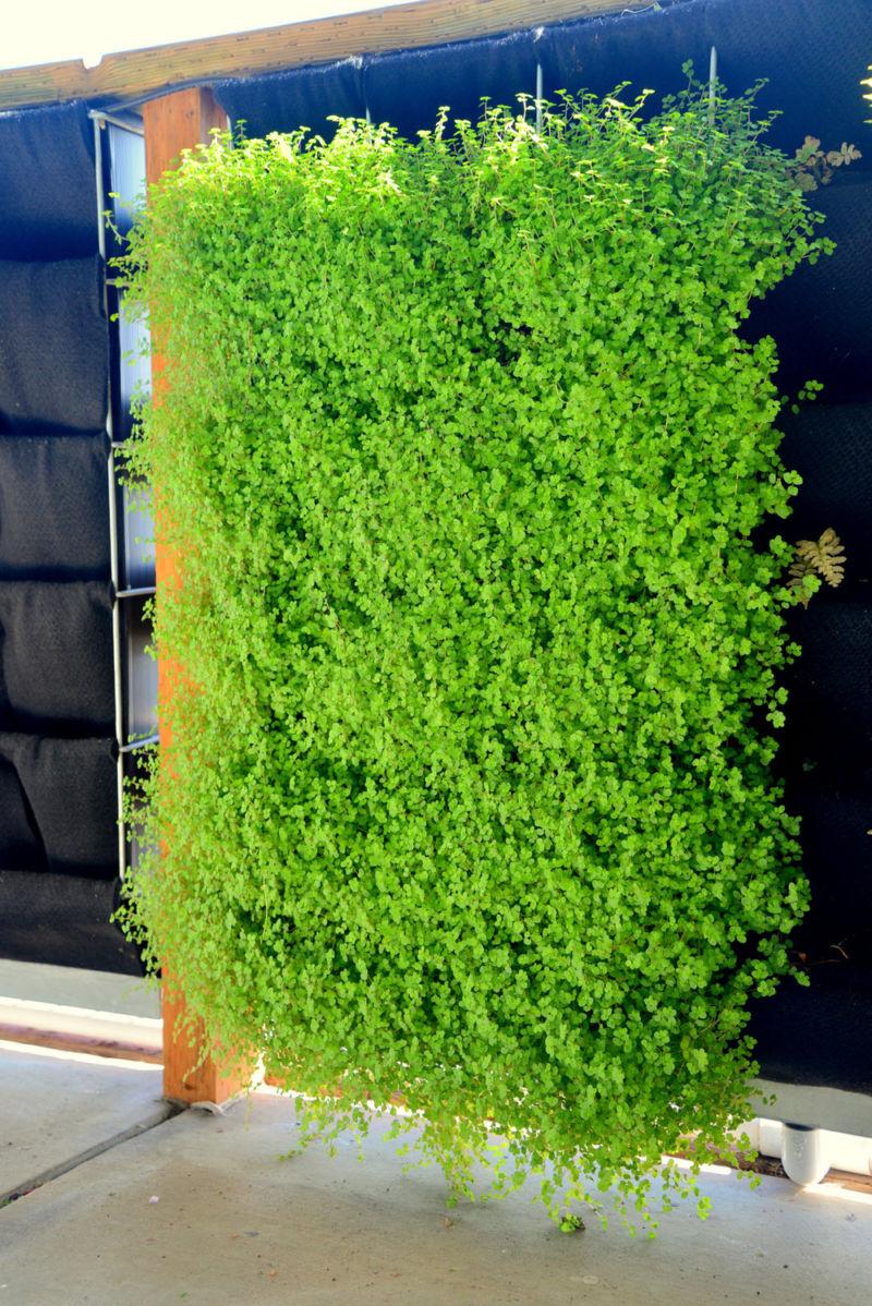 florafelt-pro-system-vertical-garden-baby-tears-dsc_8557
