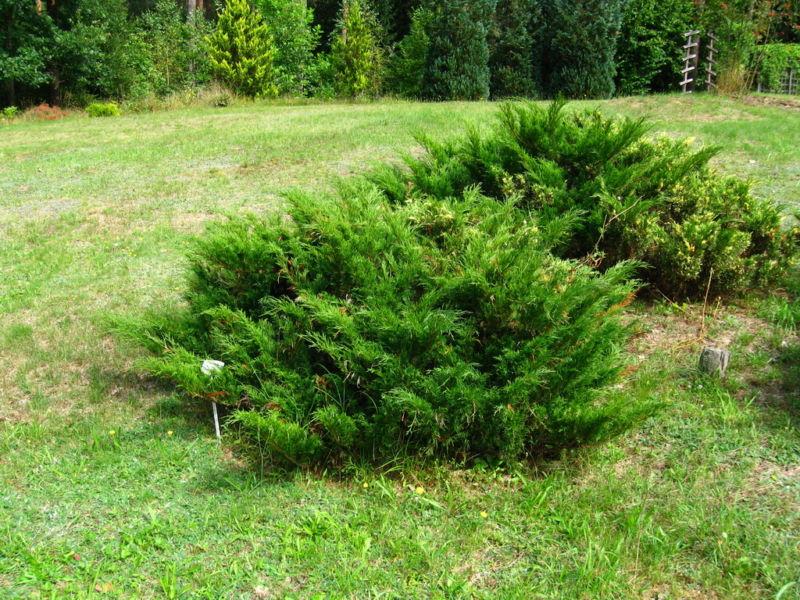 juniperus-sabina1