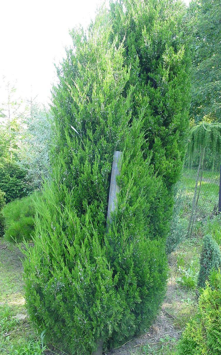 juniperus_chinensis_spartan