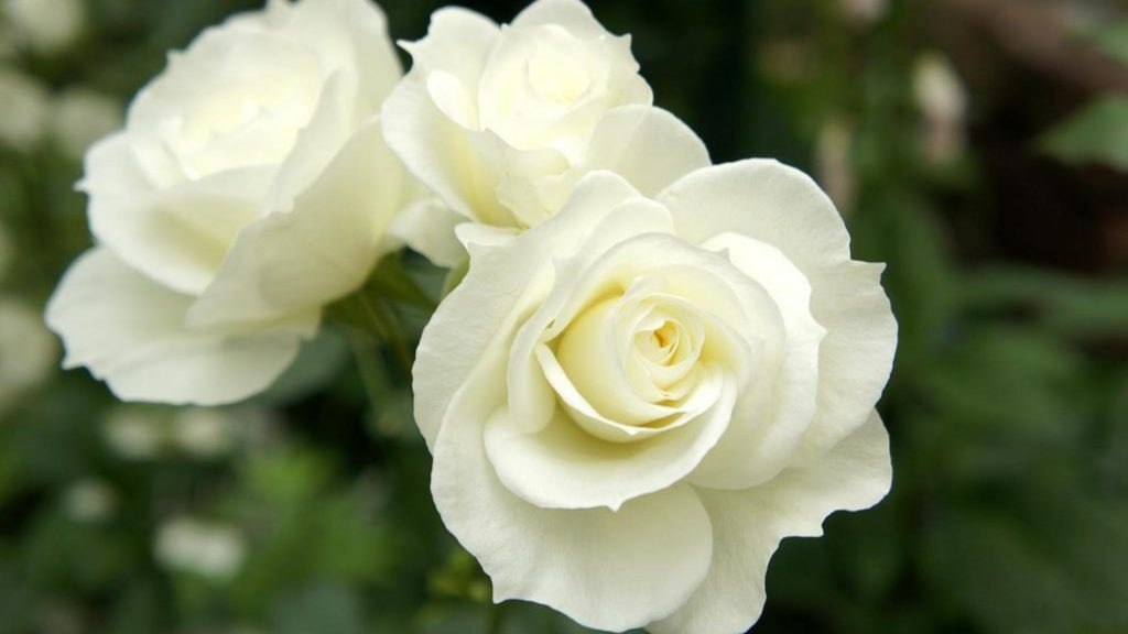 nature___flowers_beautiful_white_roses_in_the_garden_056289_