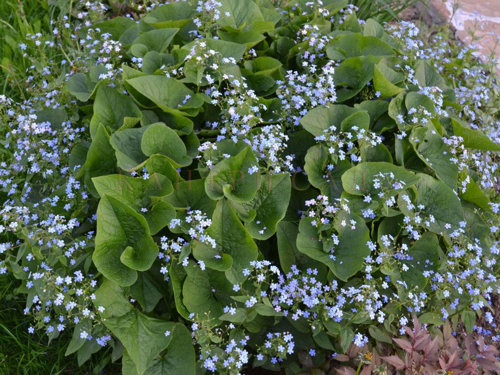 nature______flowers__brunner__siberian__perennial__066337__1