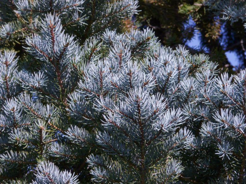 picea-seedling-1
