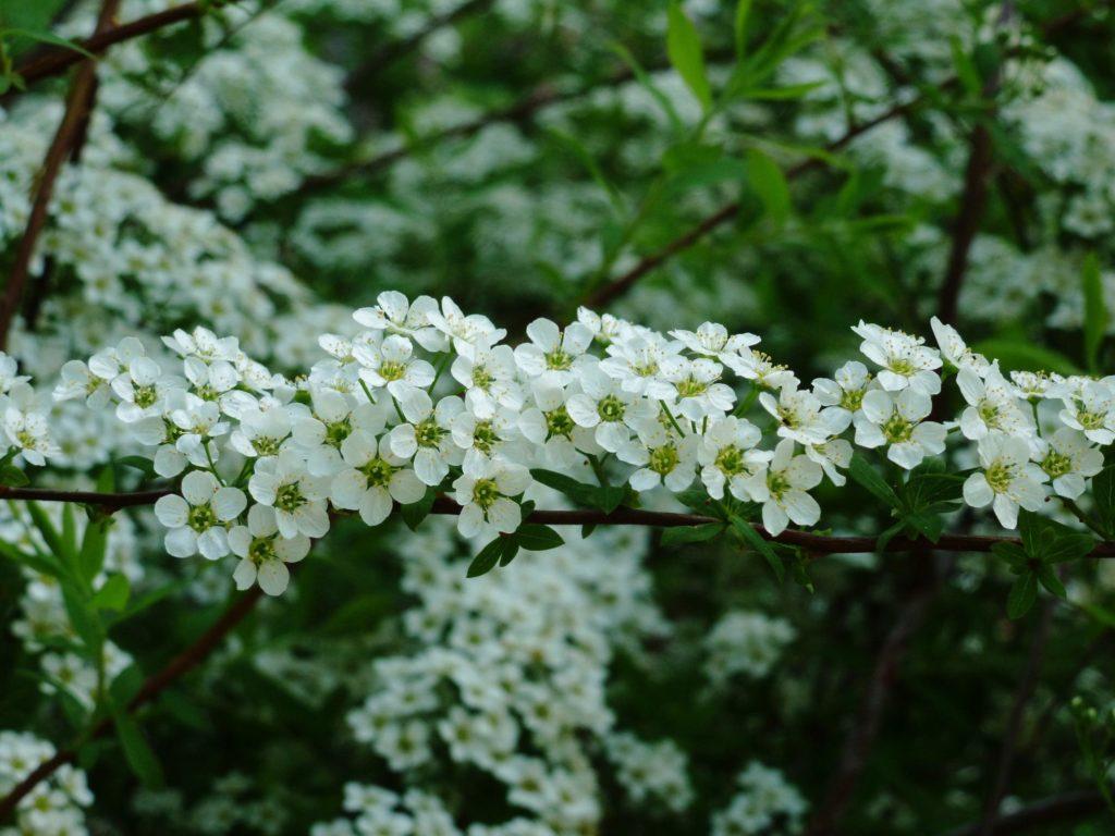 belye_cvety_botanicheskiy_sad_kiev_may_2160x1620