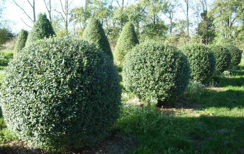 Ornamental shrubs for the garden and the garden