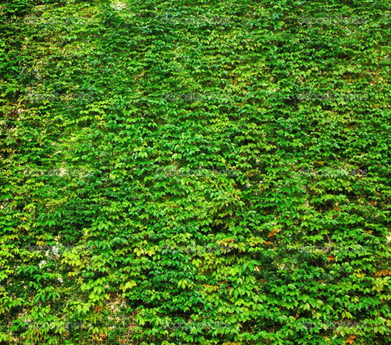 ivy green wall