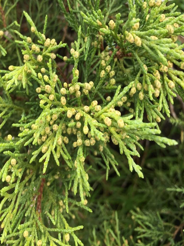 mozhzhevelnik-virginskij-tripartita-juniperus-virginiana-tripartita-hvoya