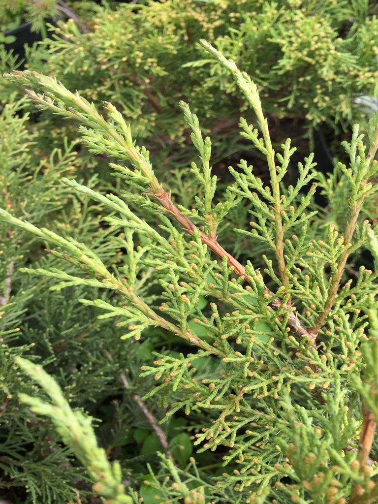 mozhzhevelnik-virginskij-tripartita-juniperus-virginiana-tripartita-vetv