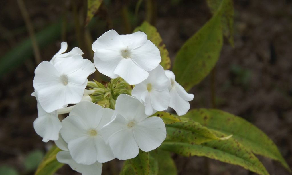 phlox-white-one-flower