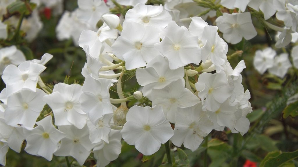 phlox-white-one-flower-garden