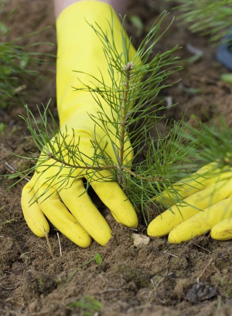pine-tree-planting-min