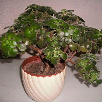 Аихризон - 81 фото как правильно садить, пересаживать и выращивать это растение