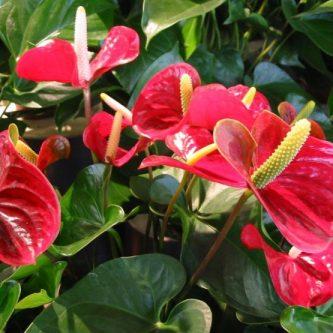 Антуриум — как выращиваются разные виды этого растения. 77 фото экзотического растения