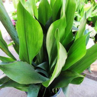 Аспидистра: советы садоводов как ухаживать за растением от А до Я (60 фото-идей)