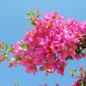 Бугенвиллия - подробное описание домашнего вида и его использование в саду (86 фото)