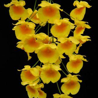 Дендробиум: пошаговая инструкция по уходу за роскошным комнатным цветком (82 фото + видео)