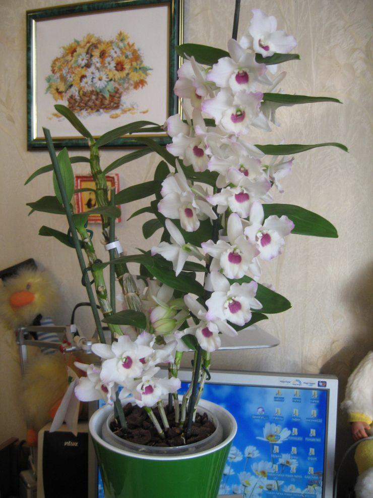 Dendrobium как ухаживать в домашних условиях