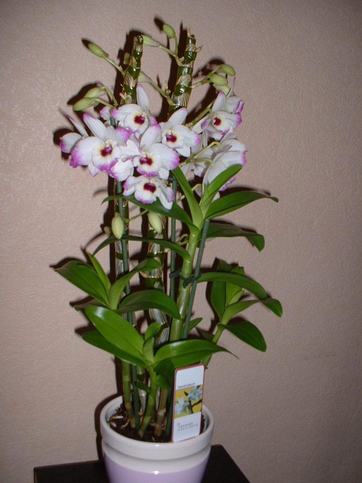 Дендробиум что за цветок