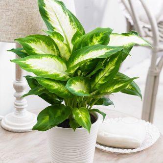 Диффенбахия - роскошное украшение любого цветника. 52 фото растения и советы по выращиванию