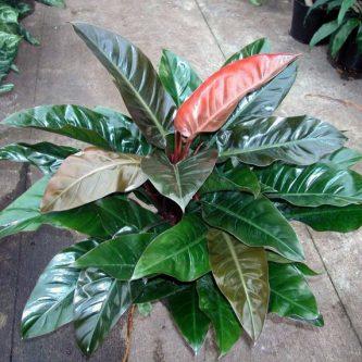 Филодендрон — 53 фото как правильно выращивать и ухаживать за комнатным растением