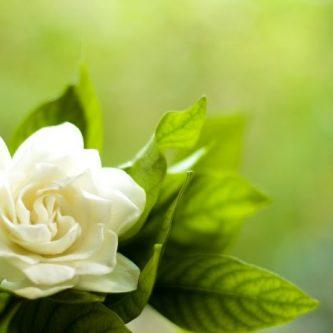Гардения (66 фото): советы по уходу за ароматным красивым цветком