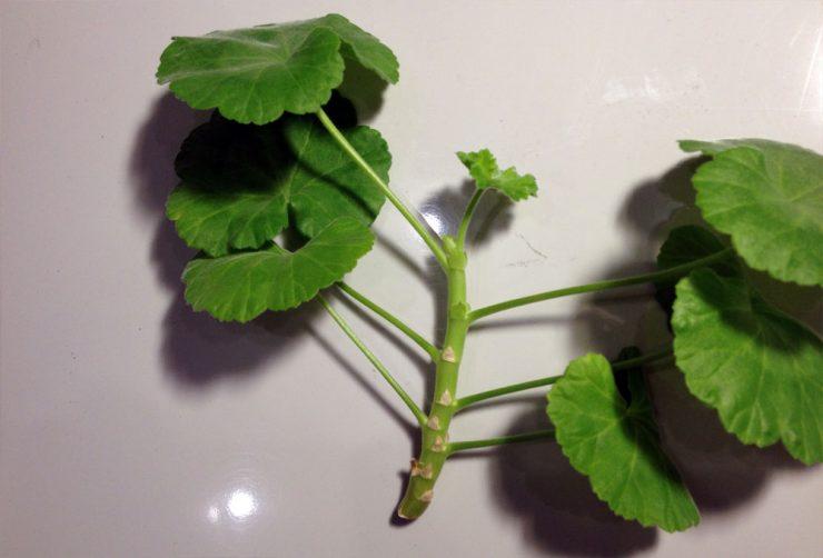 Как посадить лист герани