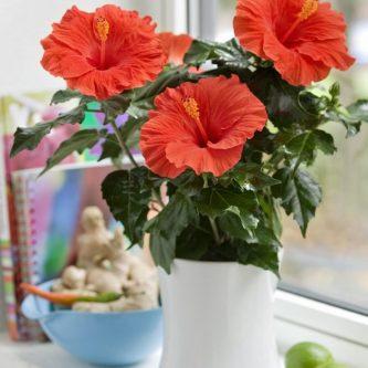 Гибискус — 61 фото ослепительного цветка и методы его выращивания