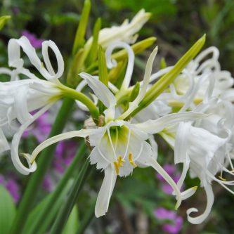 Гименокаллис: где расположить в саду и комнатах? Правила и особенности размножения (54 фото)
